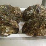 夏は岩牡蠣!